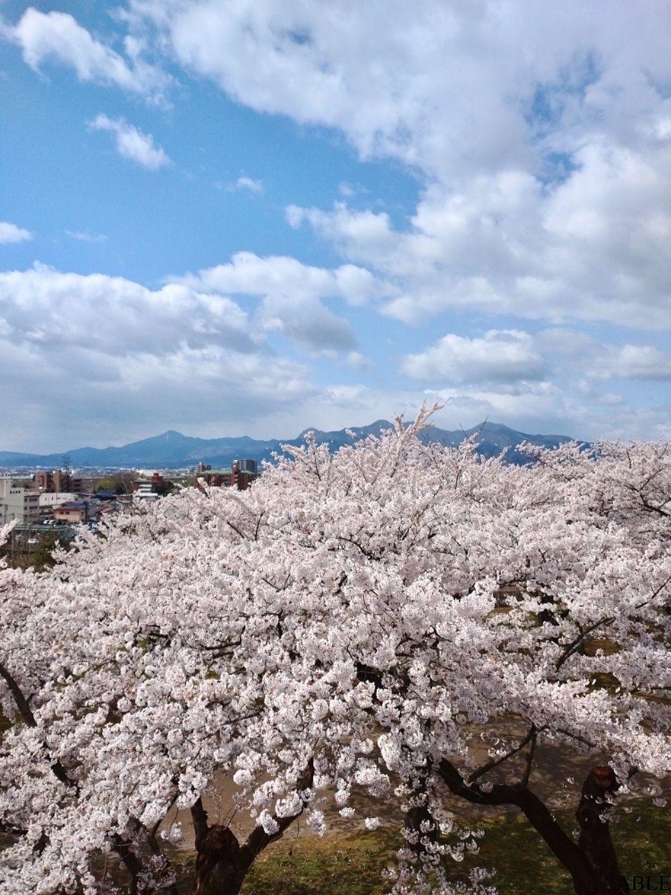 桜満開!盛岡城跡公園